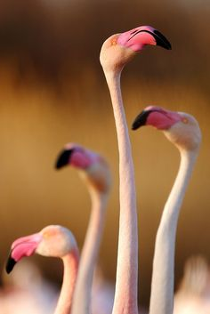 Flamingos by Jonathan Lhoir on 500px