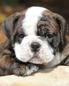 This Bulldog wants to know what your up to