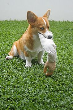 A friendly reminder: Don't mess with the corgi.