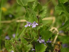 """Is this """"Creeping Charlie?""""  This is arguably the most abundant mint in Ohio, Glechoma hederacea (gill-over-the-ground or ground ivy). It is a weedy, aromatic, creeping plant with tiny purple flowers."""