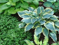 You might want to rethink your hostas when you see what this gardener did!