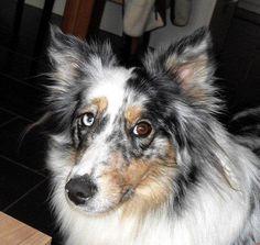 Australischer Schäferhund Jenny Wenn ich Kandidat der Bundestagswahl wäre – würdet ihr mich wählen? Gegen die #Hundesteuer! #Hundename: Jenny / Rasse: #Australischer Schäferhund      Mehr Fotos: https://magazin.dogs-2-love.com/foto/australischer-schaferhund-jenny/ Foto, Hund, Tier