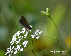 A tiny butterfly on a flower I took this at Fairfield Lake State Park