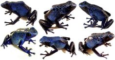 Dendrobates tinctorius'Azureus'is a fairly large morph of tinc. Known for their striking blue color, a hue rather rare in the animal world, these poison dart frogs used to be very hard to find and expensive. Successful efforts at captive breeding have brought their price down drastically, making azureus affordable to almost anyone. Trade Name(s) …
