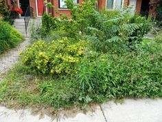 Toronto's Leslieville front garden cleanup before by Paul Jung Gardening Services. I like a challenge and this Leslieville front garden certainly provided me one! It was full of thistle, quack grass, and a few Tree of Heaven saplings thrown in for good measure.