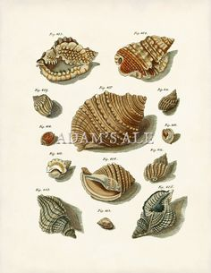 Seashells Print or Poster, Shell Art Print