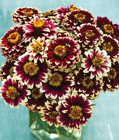 Zinnia Haageana, Color Crackle Annual Sun: Full Sun, Part Sun Height: inches Spread: inches Sowing Method: Direct Sow/Indoor Sow Bloom Duration: 12 weeks The distance from the base of the Pine Cone Art, Pine Cone Crafts, Pine Cones, Annual Flowers, All Flowers, Growing Flowers, Nature Crafts, Fall Crafts, Flower Seeds