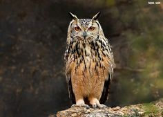 Indian Eagle Owl (Bubo bengalensis) by Tejas Soni