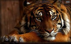 If you like wild animals and cats you will like this cool and awesome