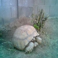 Article: Building An Outdoor Habitat For A Sulcata Tortoise.  DId you know: Ants can kill a young tortoise!