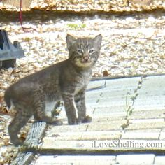 bobcat kitten baby on deck sanibel island florida