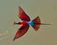 Carmine Bee-eater (Colorful Birds, Exotic Birds)