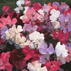 Everlasting Sweet Pea from Michigan Bulb - Sweet red, pink and white blooms cover this climbing vine all summer. Let it scramble over fences, trellises or arbors, or grow it horizontally to create an unusual ground cover. Tall Flowers, Beautiful Flowers, Outdoor Flowers, Flowering Vine Plants, Everlasting Sweet Pea, Wicken, Pea Trellis, Climbing Vines, Spring Blooms
