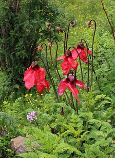 Meconopsis punicea - BO-15-129 - Click Image to Close