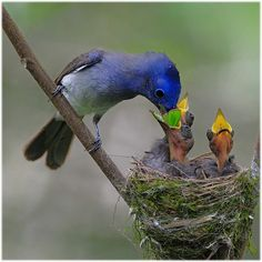 Black-naped Monarch feeding her chicks Animals Of The World, Animals And Pets, Baby Animals, Cute Animals, Most Beautiful Birds, Pretty Birds, Exotic Birds, Colorful Birds, Wild Creatures
