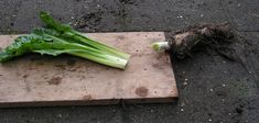 24) Witlof kweken – sjeftuintips Celery, Vegetables, Food, Veggie Food, Vegetable Recipes, Meals, Veggies