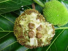 Pana de Pepita,  Artocarpus altilis or breadfruit  is a species of flowering tree in the mulberry and Jackfruit family (Moraceae) originating in the South Pacific and that was eventually spread to the rest of Oceania.