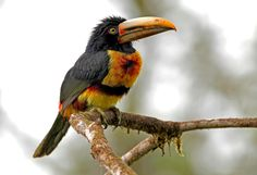 Pale-mandibled Aracari (photo by Charly Sax) can be seen in Ecuador. See www.birdingecotours.co.za for more info if you'd like to join one of our exciting tours in this region!