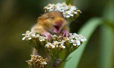 L'image de la semaine : un petit rongeur super mignon rit aux éclats sur une fleur.Le muscardinus avellanarius, appelé plus communément muscardin ou loir muscardin, est une petite espèce de rongeurs de la famille des myoxidés