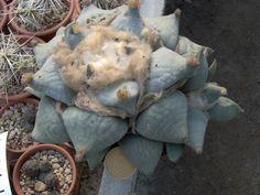 Ariocarpus retusus f. furfuraceus