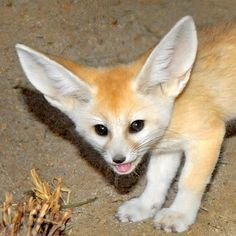 What Big Ears You Have, Little Fox