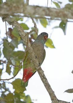 mis fotos de aves: Pionus sordidus Loro Piquirrojo Red-billed Parrot