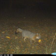 corny fox