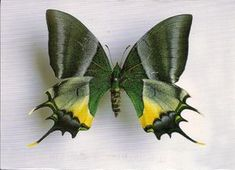 Teinopalpus aureus -- Beautiful greens & golds decorate this Teinopalpus aureus. It has a strong, rapid flight, and a beautiful personality as well. The butterfly is very rare, therefore not much is known about it. However, it is protected by Chinese law.