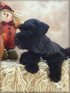 black schnauzer pup!!! Awww how cute!!