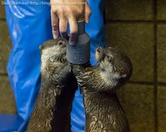 Otters figure out this pipe toy - August 15, 2017