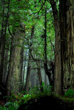 Druids Trees:  Ancient #forest.