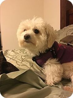 Poodle mixes rescue maryland