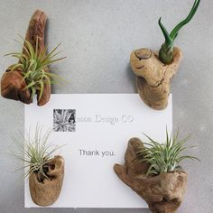 Who doesn't love an air plant!! I would love one of these as a wedding favor - Driftwood Air Plant Magnets  Set of 4  Organic Home by AnsonDesign
