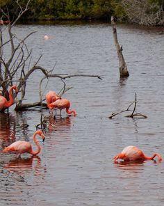 Galapagos Flamingos on Isabela Island