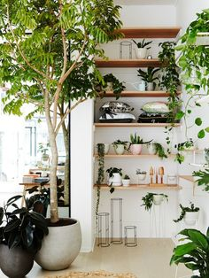 Indoor tree next to wood shelving