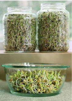 Lentil sprout