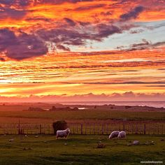 130614 surreal sunrise with sheep in the paddock