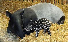 Video: Edinburgh zoo's baby tapir takes it first steps - Telegraph