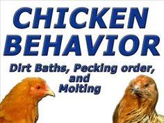 Chickens, Best Backyard Egg Laying Hen Breeds