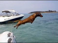 Spithas, the Dachshund from Greece, is on vacation! After he wakes up he goes for a swim at the sea. Then he shows how smart he is by performing some funny . Funny Dachshund, Mini Dachshund, Dachshund Puppies, Funny Dogs, Cute Puppies, Cute Dogs, Dogs And Puppies, Funny Animals, Cute Animals