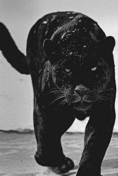 Пантеры — это ночные охотники!