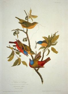 Print of Painted Bunting by John James Audubon on canvas. Product: Wall artConstruction Material: Cotton canvas and woodFeatures: Reproduction of art by John James Audubon Bunting Bird, Painted Bunting, Buntings, Audubon Prints, Audubon Birds, Vintage Birds, Vintage Art, Vintage Prints, Vintage Decor