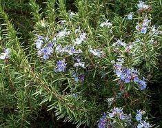 Algarve, Shrubs, Herbalism, Health, Medicine, Beautiful Gardens, Landscaping, Garden, Farmhouse Floor Plans