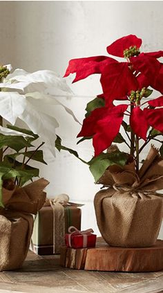 Use inexpensive Burlap + twine to Wrap your poinsettias and plants ! To add extra detail & interest to your Outdoor Holiday Decor