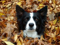 Two of my favorite things together for a cute picture.....leaves and border collies!