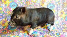 Available Piglets - Beautiful Micro Mini Teacup Pet Pigs!