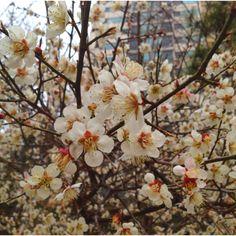 출근길 벚꽃