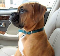 Great Totally Free boxer dogs and puppies Ideas Conduct you love your puppy? Not surprisingly, people do. Suitable doggy caution and also training will make Boxer Dogs Facts, Dog Facts, Boxer And Baby, Boxer Love, Boxer Mix, Cute Puppies, Cute Dogs, Dogs And Puppies, Doggies