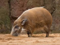 The Red River Hog, Potamochoerus porcus, also referred to as the Bush Pig, is a mainly nocturnal wild member of the pig family and is found in much of West Africa. Red River Hog, Pig Family, West Africa, Animals, Animales, Animaux, Animal, Animais