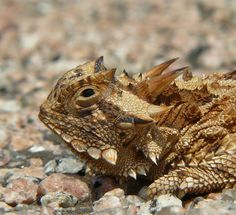 Horny Toad is not a toad at all, it's a lizard and it eats only one thing, Harvester Ants. Very interesting blog entry, short, click the pic.